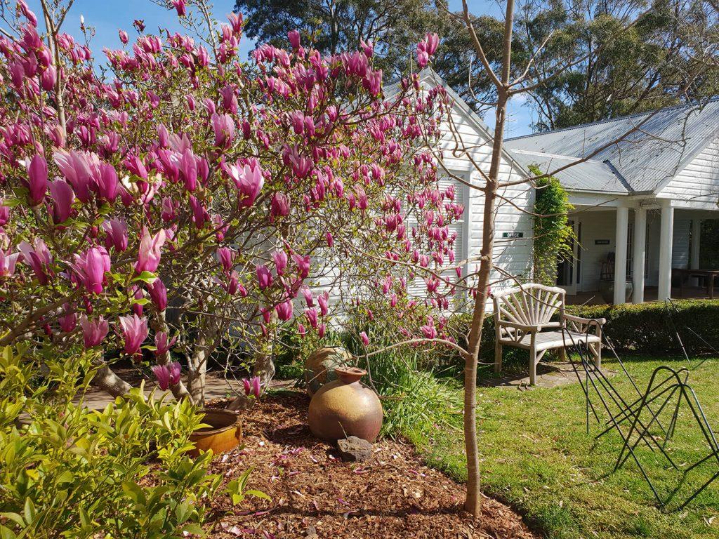 Magnolias in the garden, 2021
